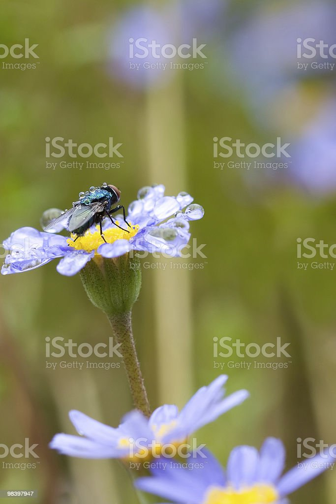 Fly on purple flower royalty-free stock photo