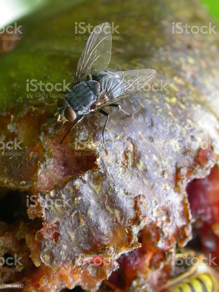 Fly on rotting fig royalty-free stock photo