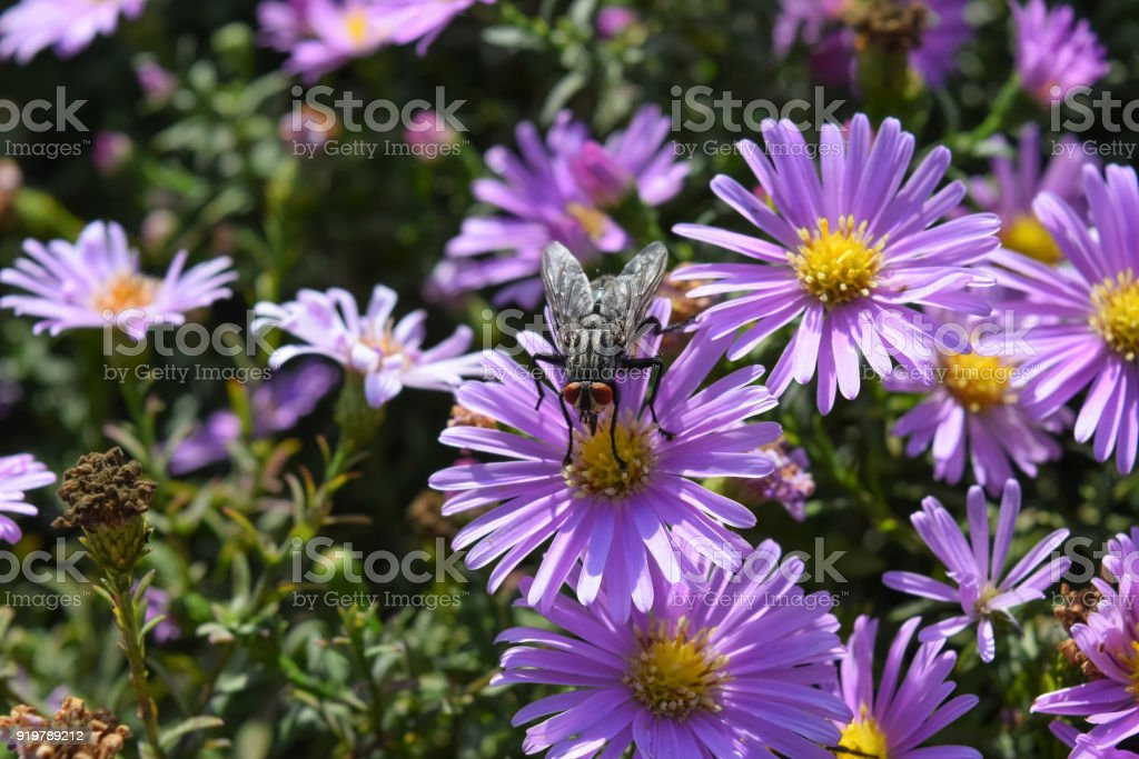 Fly on the flowers. Dipterous insect stock photo