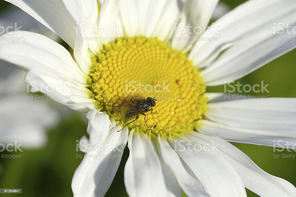 Fly on white daisy royalty-free stock photo