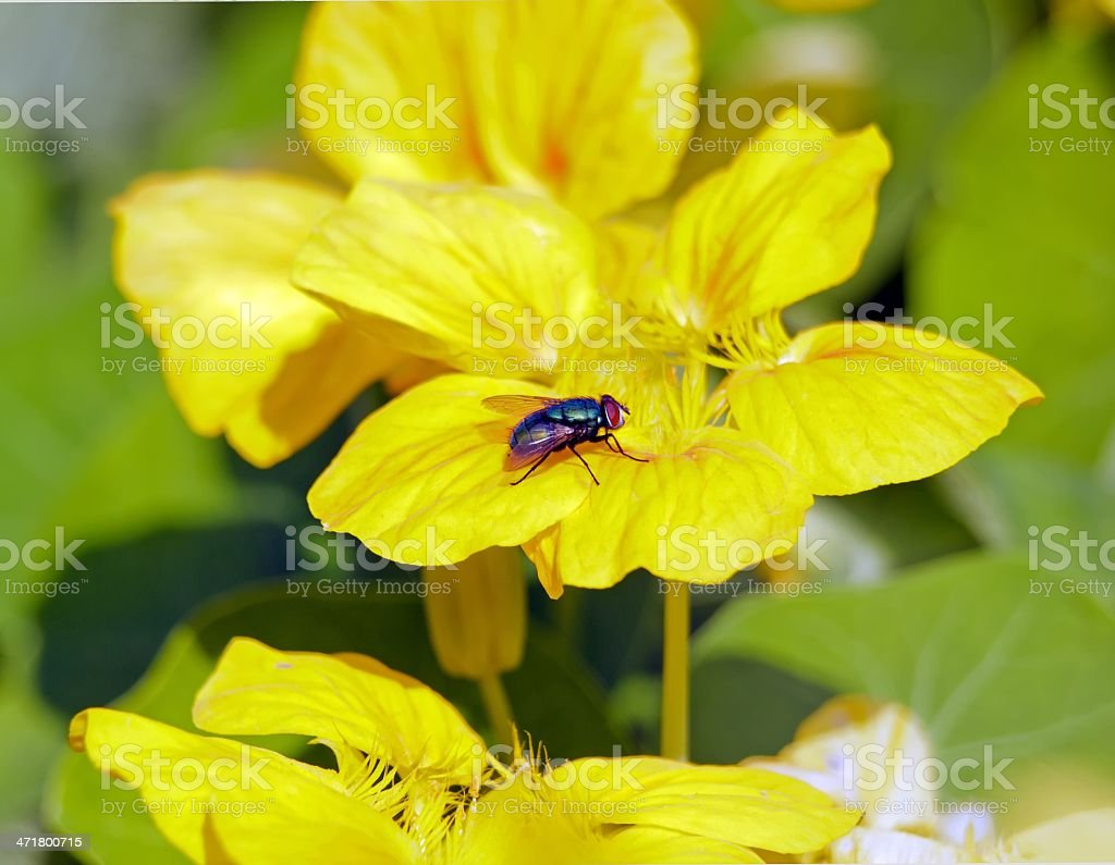 Fly on yellow flower stock photo
