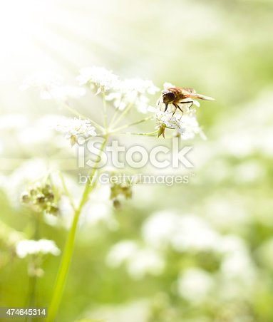 istock Fly or bee on a spring flower 474645314