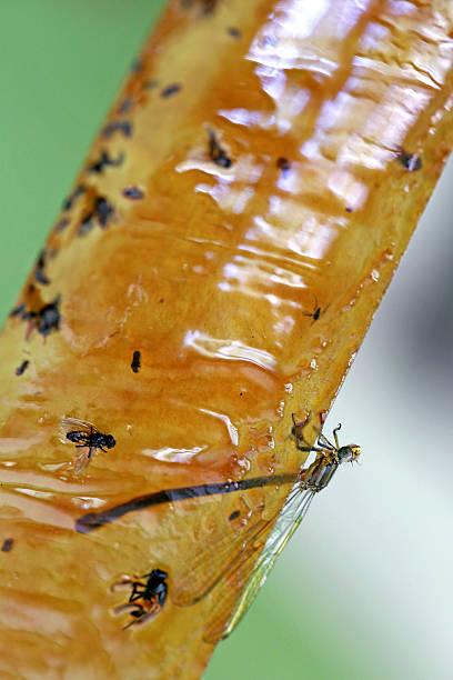 fly paper - mottenfalle stock-fotos und bilder