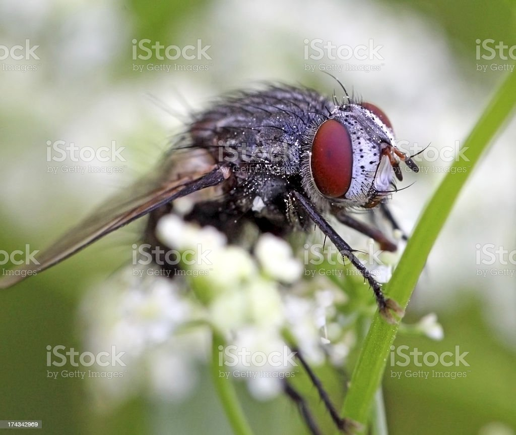 Fly Stock Photo & More Pictures of Animal | iStock