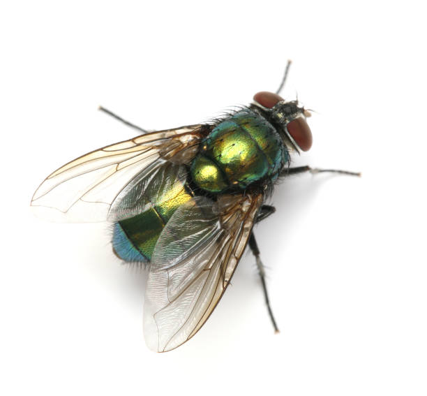 the housefly the most annoying insect ever The amazing housefly part 2: coolest eye ever and combined into a composite image in the insect's a housefly can move into jump-ready.