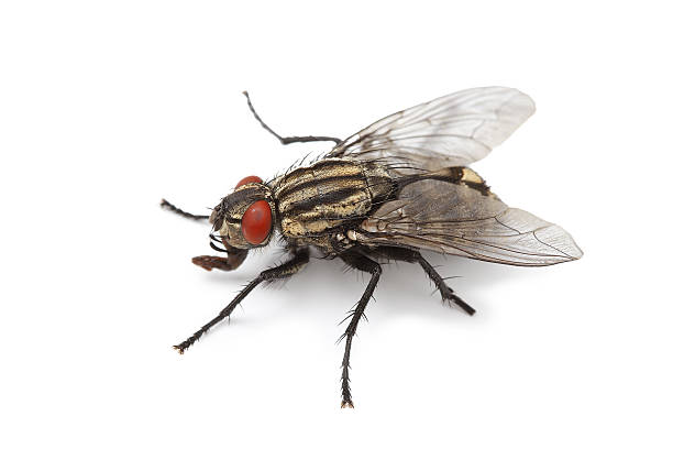 fly fly on white background fly insect stock pictures, royalty-free photos & images