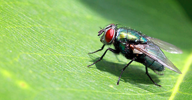 Fly Fly on a green leaf. fly insect stock pictures, royalty-free photos & images
