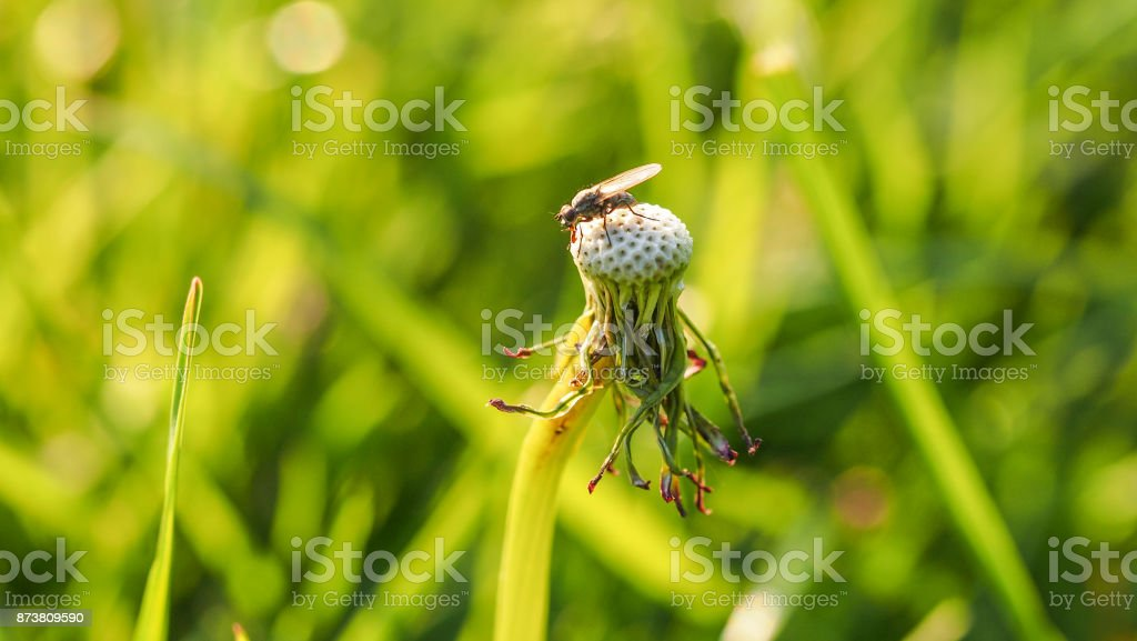 Fly resting on a dried dandelion flower in the garden, green background. stock photo