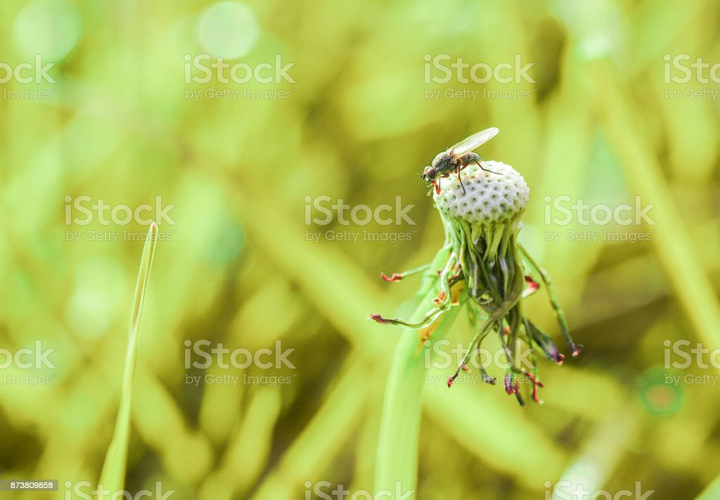 Fly resting on a dried dandelion flower in the garden, yellow background. stock photo