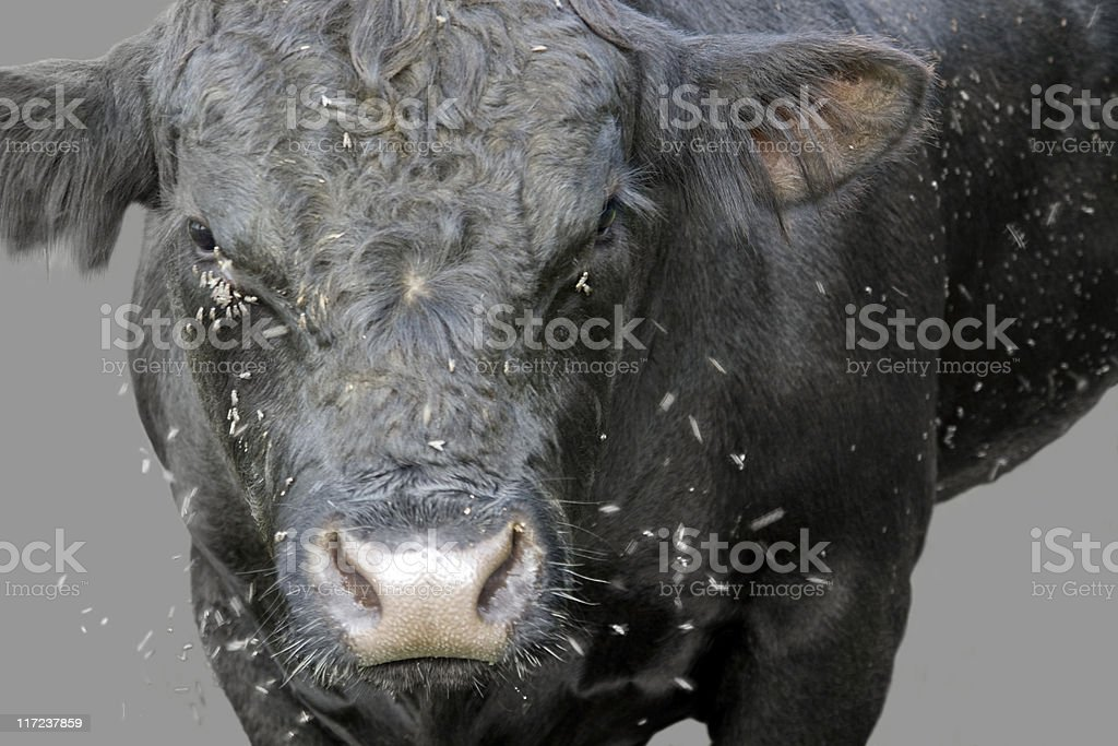 fly scourge and cow stock photo
