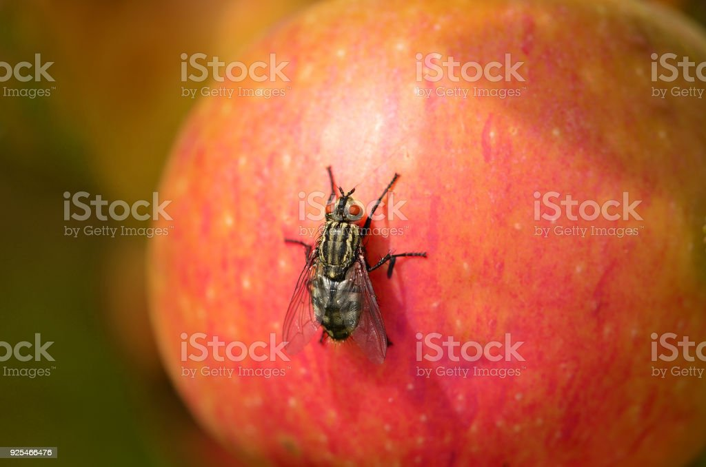 Fly sitting on a red apple stock photo