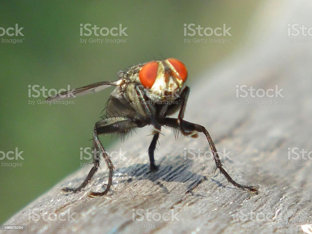Fly sitting on wood close up stock photo