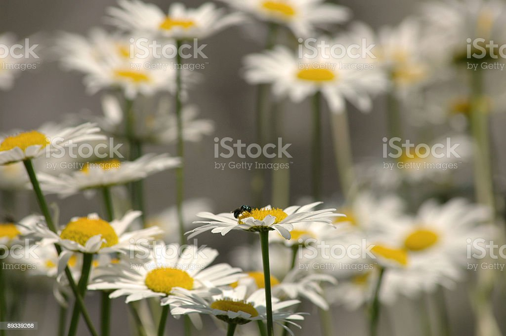 Fly Visits Daisies stock photo