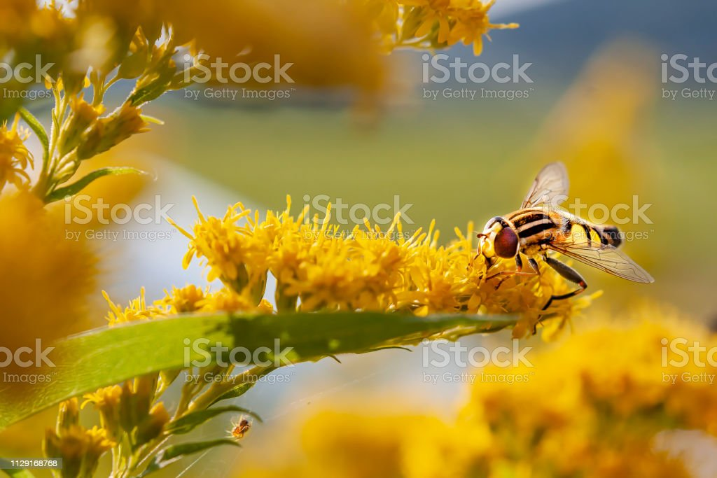 Fly walking among yellow forest of flowers stock photo