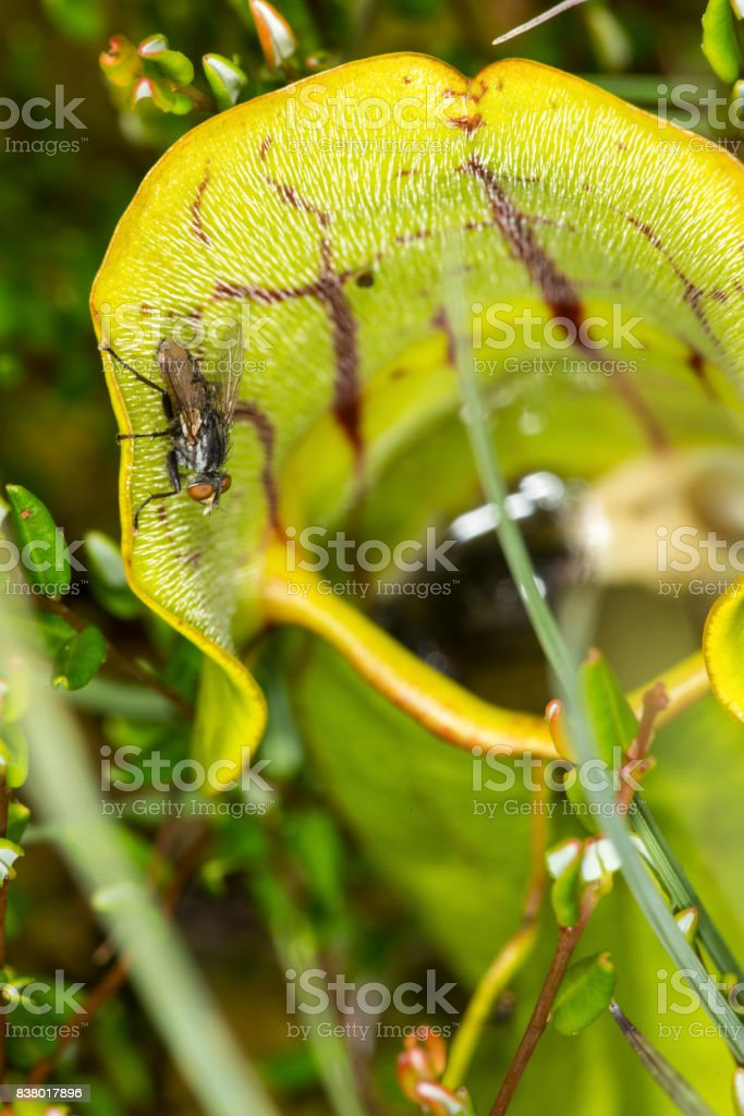 Fly walking on a pitcher plant leaf in New Hampshire. stock photo