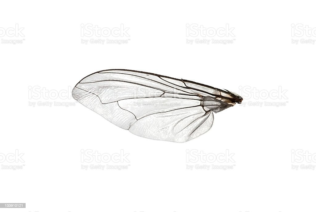 Fly wing stock photo
