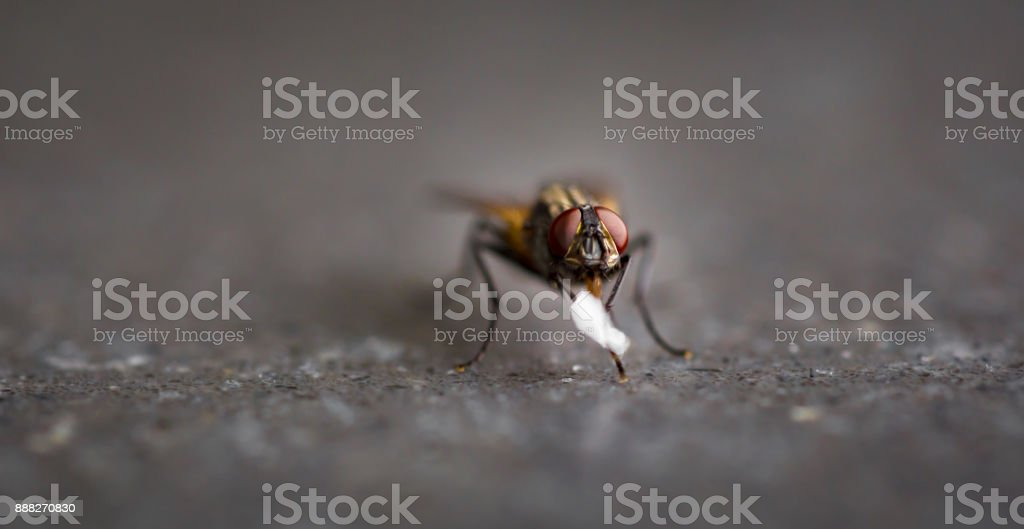 Fly with red eyes eating a bit of sugar stock photo