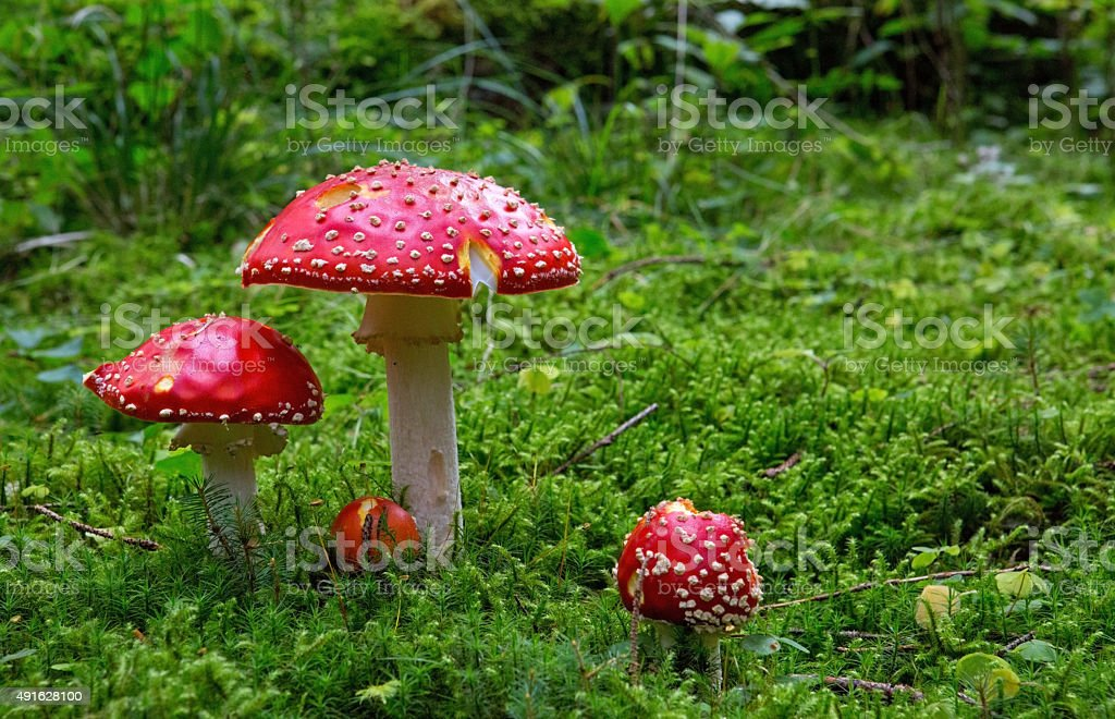 Fly-agaric in forest . stock photo