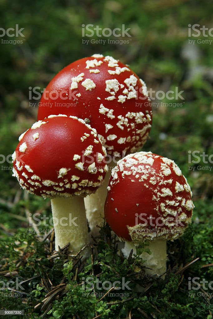 Fly-agaric (Amanita muscaria) in pinewood royalty-free stock photo