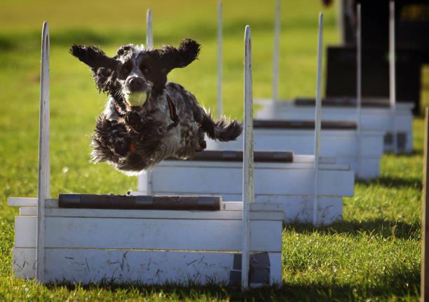 flyball dog training - training imagens e fotografias de stock