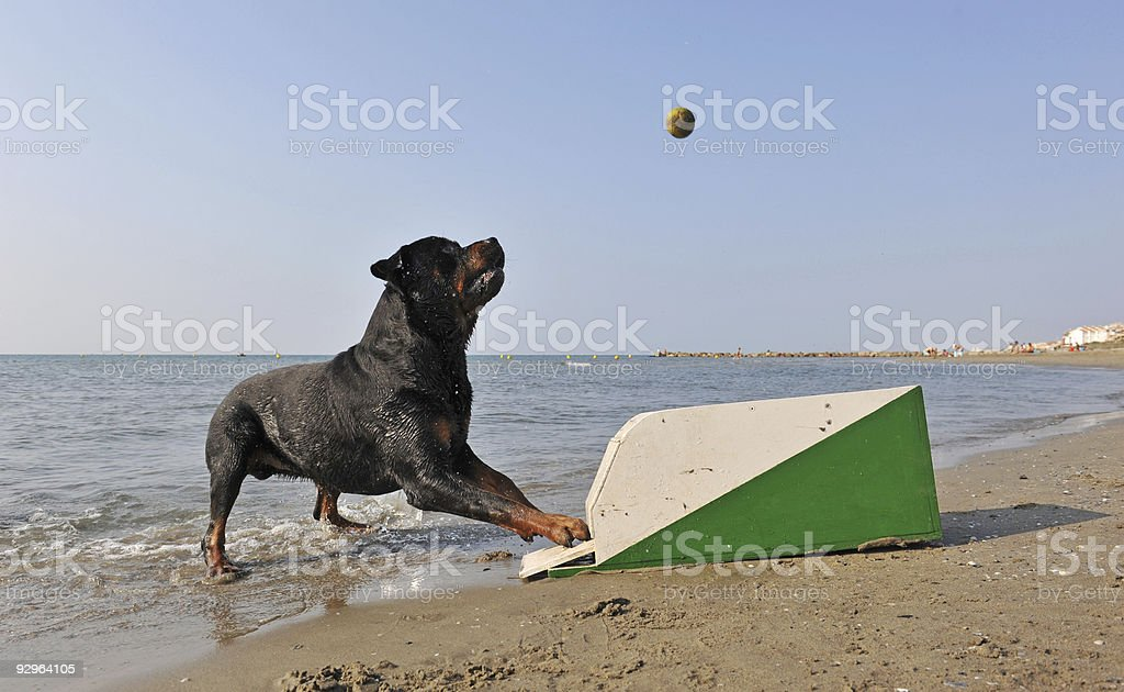 flyball on the beach stock photo