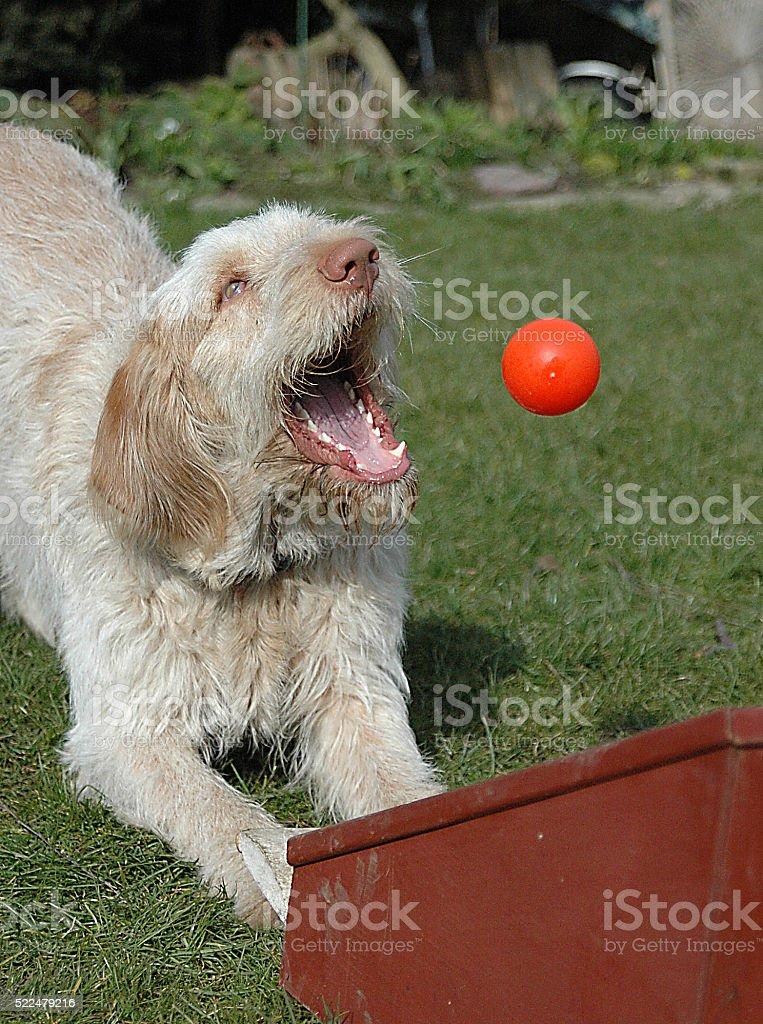 Flyball #3 stock photo
