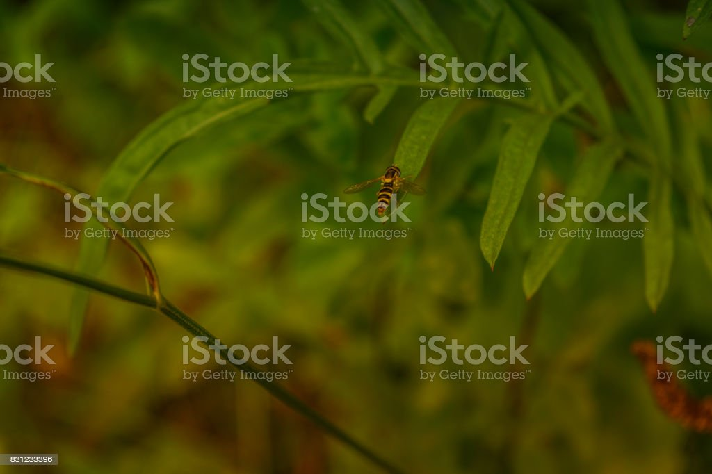 Fly-hover with a wasp coloring stock photo