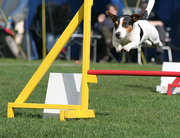 Vol de chien d'agilité. - Photo