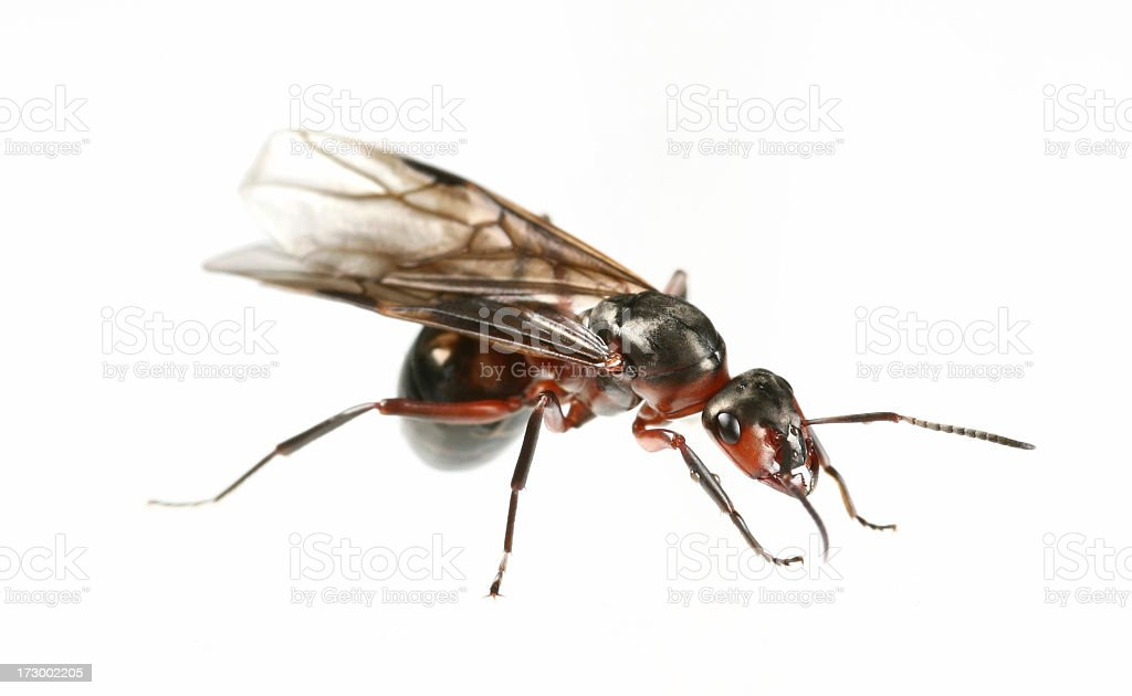 flying ant royalty-free stock photo