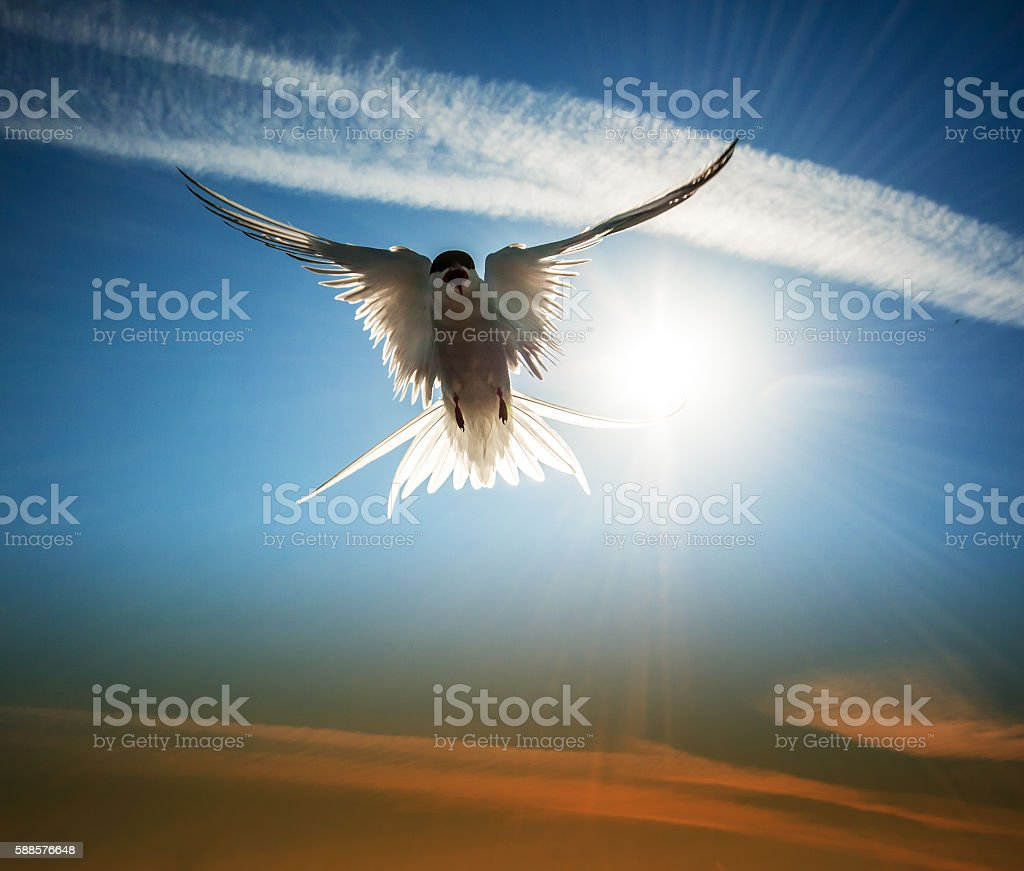 flying arctic tern illuminated by the sun