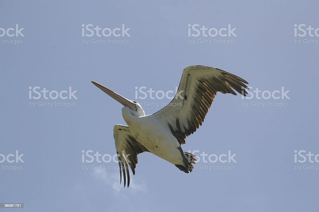 Flying Australian Pelican royalty-free stock photo