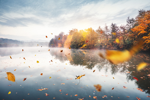 Idyllic autumn scene: Dry autumn leaves falling from the trees and floating on a water surface of the lake. Trees are reflecting in the water.