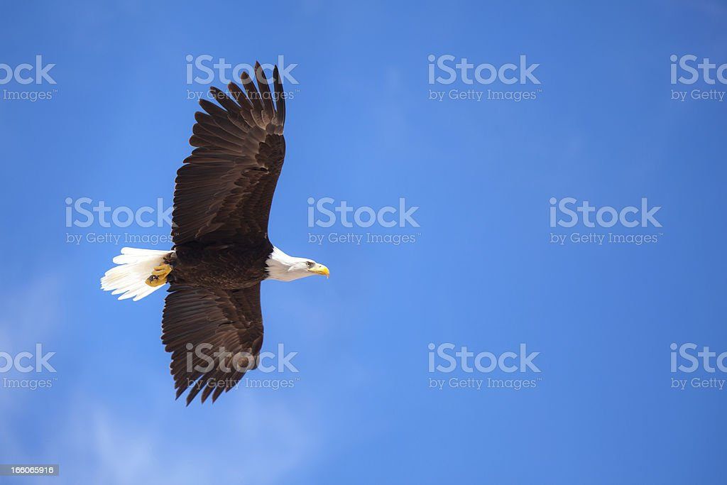 flying bald eagle at blue sky stock photo