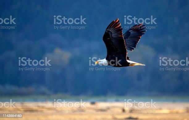 Flying bald eagle in harrison mills bc picture id1143554183?b=1&k=6&m=1143554183&s=612x612&h=stpaymshhzjdo jtj2w4dqyilyjhalzbshuf7twpbzc=