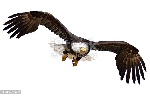 Isolated Bald Eagle in flight cutout on white