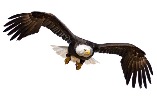flying bald eagle isolated on white background - eagle stock photos and pictures