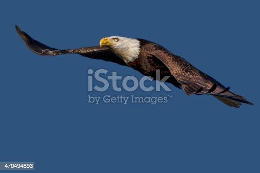 istock Flying Bald Eagle Isolated 470494893