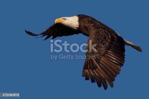 istock Flying Bald Eagle Isolated 470494919