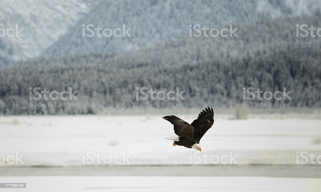 Flying Bald eagle. royalty-free stock photo