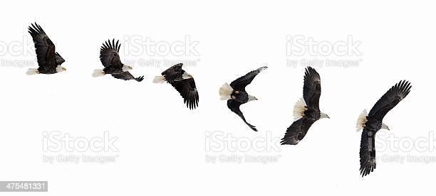 Flying bald eagle picture id475481331?b=1&k=6&m=475481331&s=612x612&h=s4ngbw0tvpa7seik89uhj7mqhgj7worhomxebrts68w=