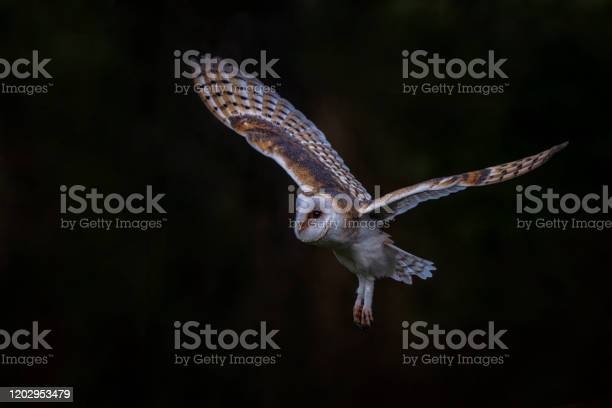 Flying barn owl hunting dark green background noord brabant in the picture id1202953479?b=1&k=6&m=1202953479&s=612x612&h=d0ghzla4kprfsx8x fkh3 qsqktdwrxoqbizc5z dfs=
