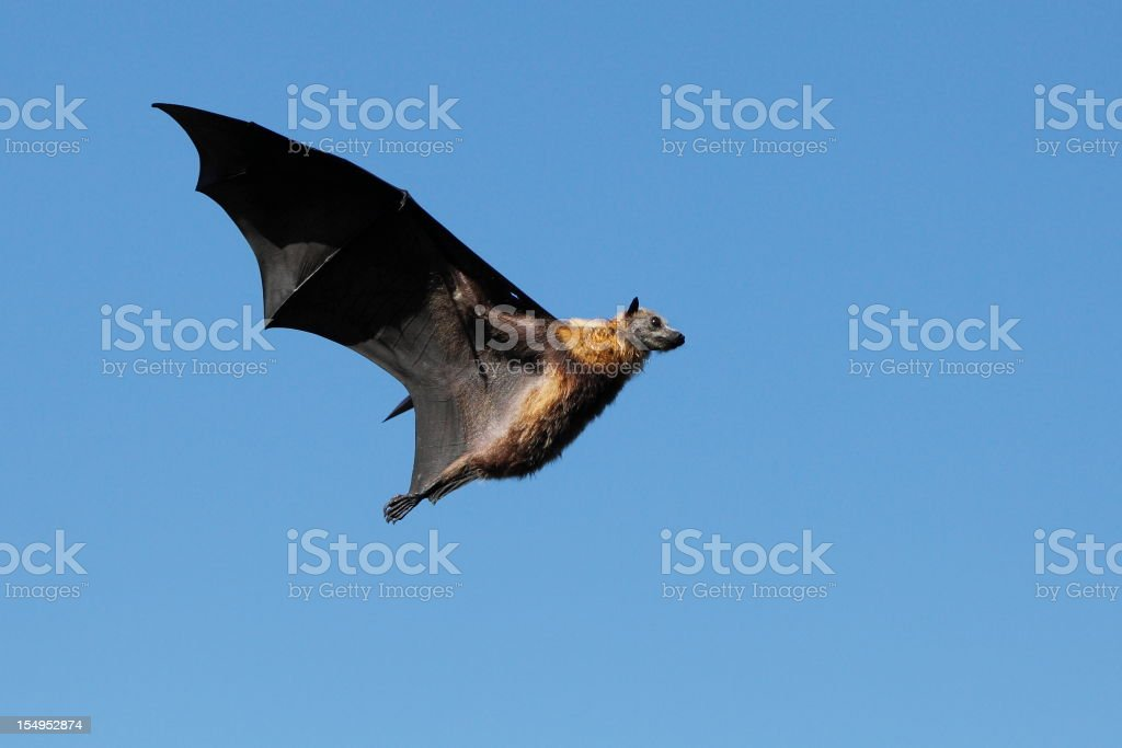 Flying Bat stock photo
