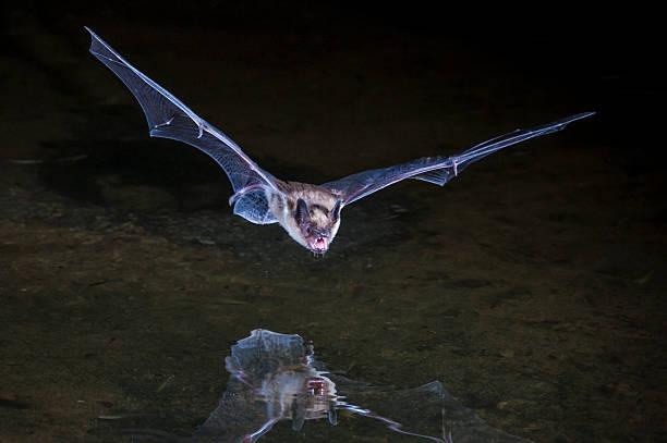 - bat - wasserfledermaus stock-fotos und bilder