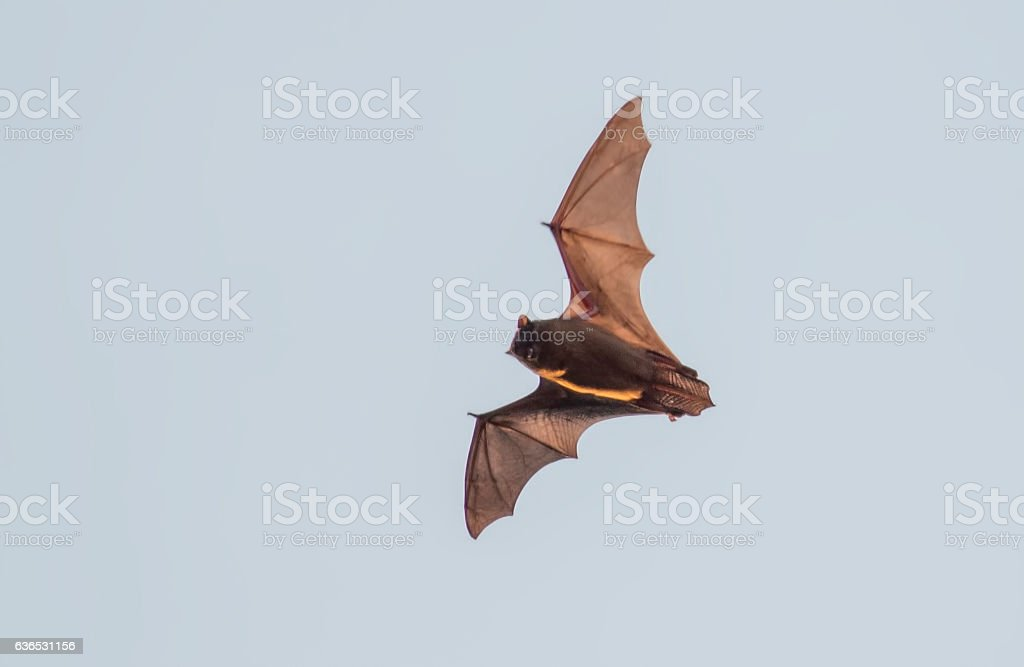 Flying bat stock photo