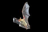 istock Flying bat with black background, Myotis myotis 1071721772