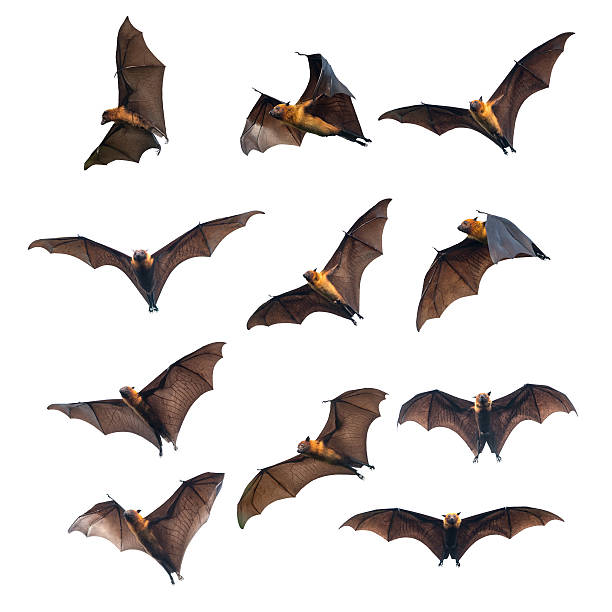 Flying bats isolated on white background stock photo
