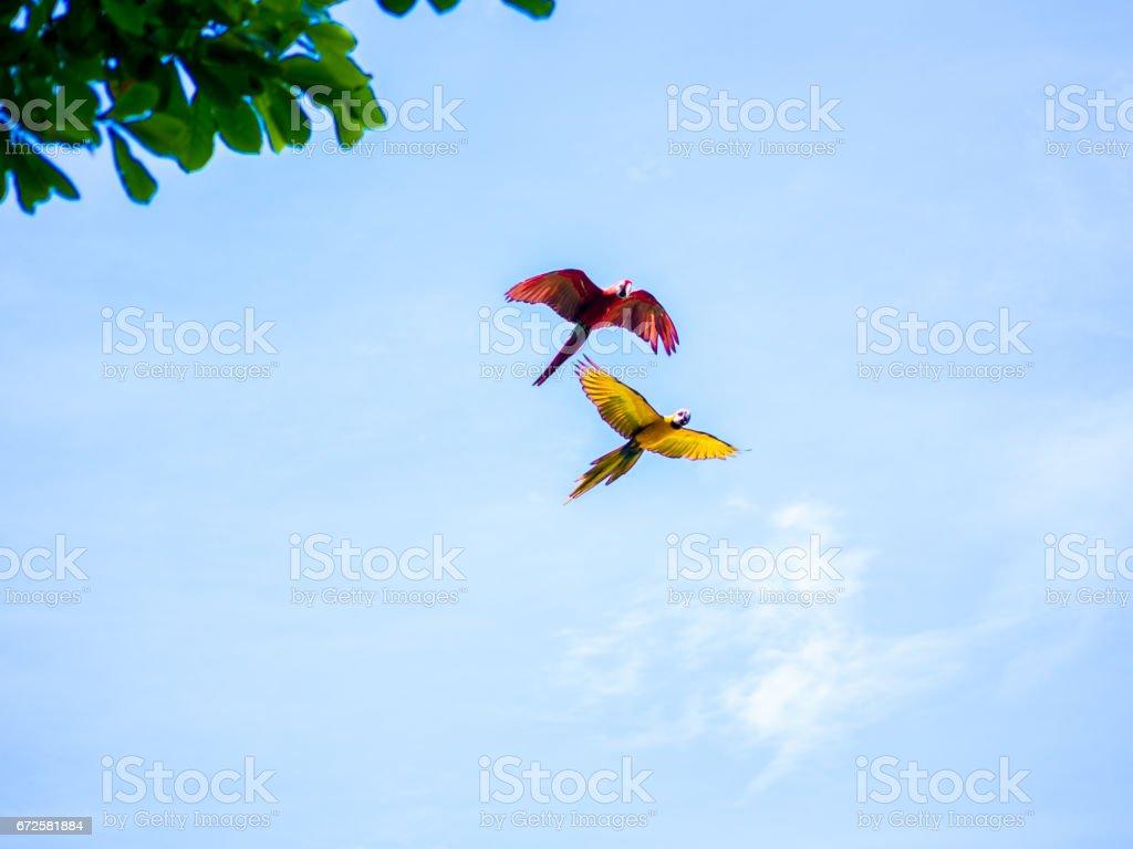 Arara linda voadora foto de stock royalty-free
