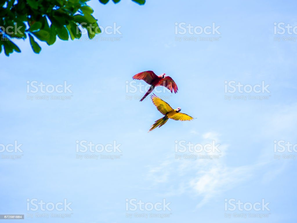 Flying Beautiful Macaw stock photo