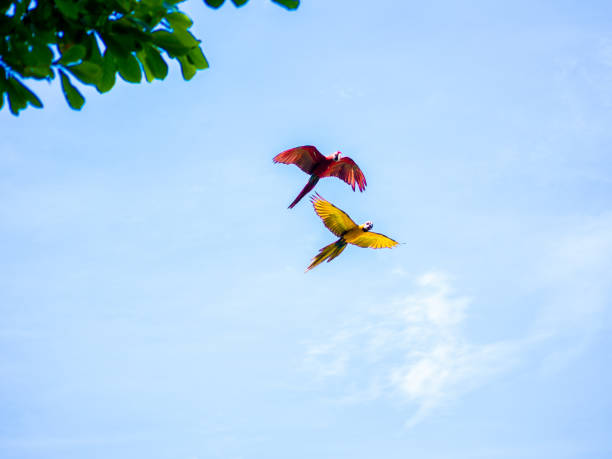 Flying Beautiful Macaw stock photo