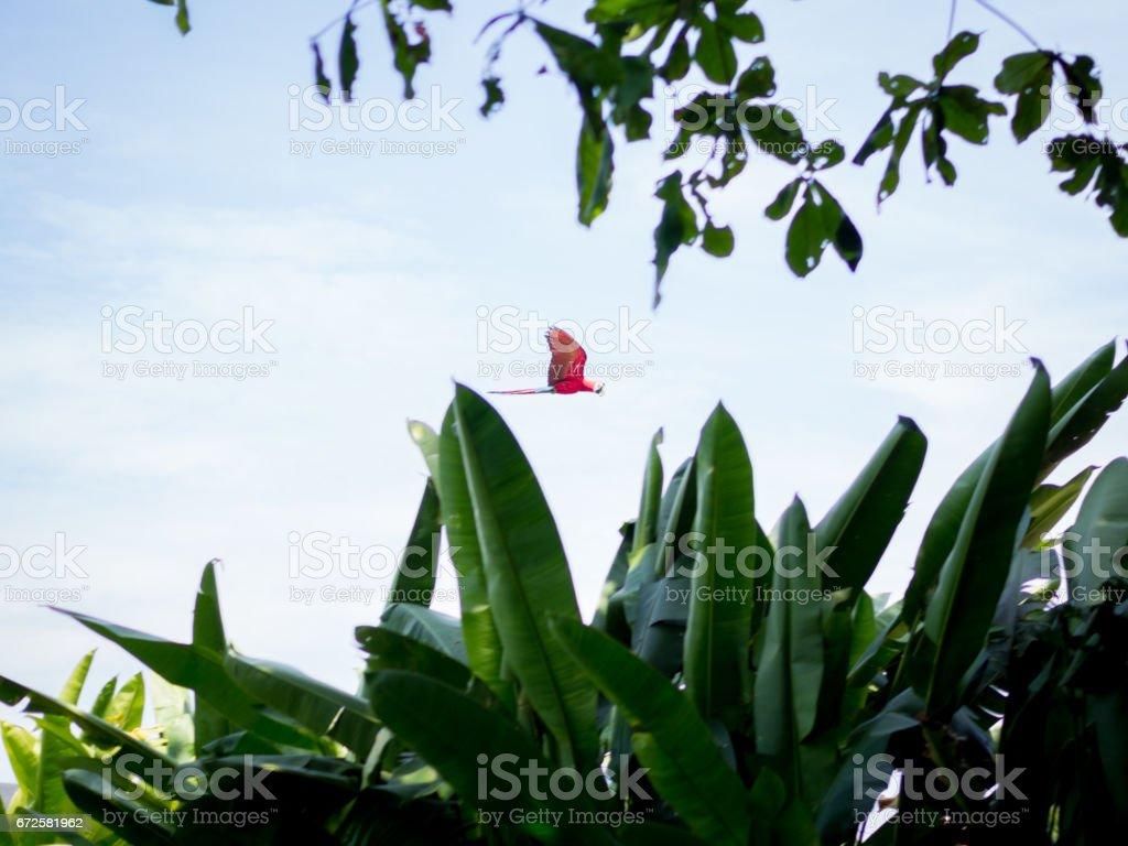 Arara linda voadora foto royalty-free